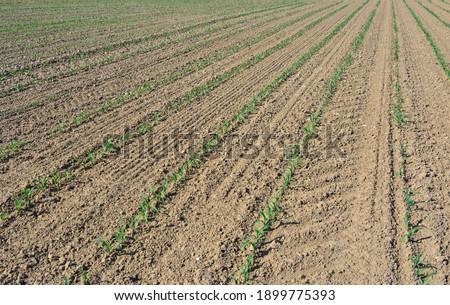 furrows of seedlings growing in a fied in the dirt  Foto stock ©