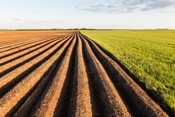 Furrows row pattern in a plowed field prepared for planting crops in spring. Growing wheat crop in springtime. Horizontal view in perspective with cloud and blue sky background.