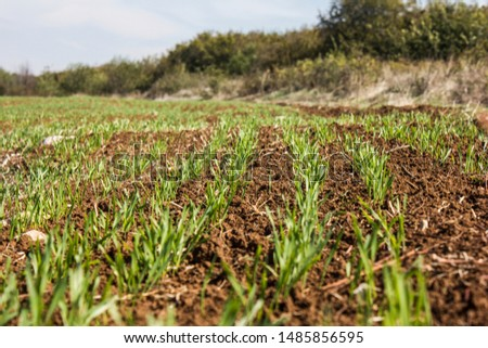 Furrows row pattern in a plowed field prepared for planting crops in spring. Growing wheat crop in springtime. Horizontal view in perspective with cloud and blue sky background #1485856595