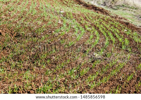 Furrows row pattern in a plowed field prepared for planting crops in spring. Growing wheat crop in springtime. Horizontal view in perspective with cloud and blue sky background #1485856598