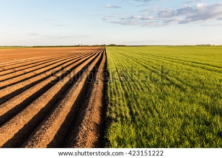 Furrows row pattern in a plowed field prepared for planting crops in spring. Growing wheat crop in springtime. Horizontal view in perspective with cloud and blue sky background. #423151222