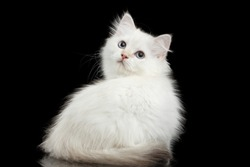 Furry British breed Kitty White color Sitting and Looking back on Isolated Black Background with reflection
