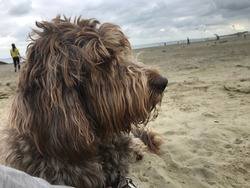 furry brown dog on the beach