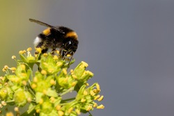 Furry bumblebee (Bombus Terrestris) sitting on the blossoms of an ivy and drinking nectar. The bumblebee is covered with pollen that reflects in the sunlight.