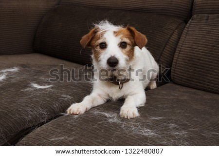 Photo of  FURRY JACK RUSSELL DOG, SHEDDING HAIR DURING MOLT SEASON PLAYING ON SOFA.