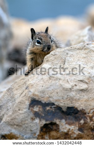 Furry juvenile Ground Squirrel peeking over the top of the safey of the rocks. #1432042448