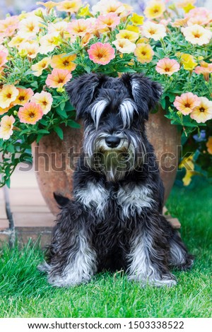 Furry miniature schnauzer dog sitting and looking at camera, domestic pet portrait in a background of blossoming flowers in summer #1503338522