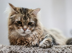Furry Pixie-Bob Domestic Cat Laying on Frieze Carpet.  Pixie-bobs are a fully domestic breed of cat selected and bred to resemble the North American Bobcat.