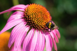 Furry striped bumble bee collecting pollen on purple coneflower, macro photo of blooming echinacea flower with blurred bokeh effect background