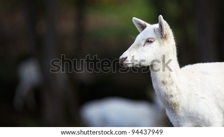 Furry white young fallow dear head with soft dark green focus background