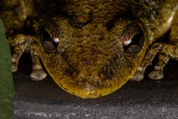 Fuscous-blotched Snouted Tree Frog of the species Scinax fuscovarius