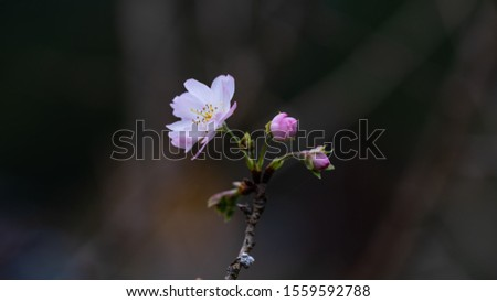 Fuyuzakura is blooming in the month of November. It has smaller petal than the one blooms in the spring. It is so elegant and beautiful to look. #1559592788