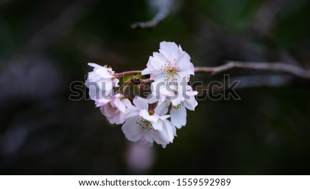 Fuyuzakura is blooming in the month of November. It has smaller petal than the one blooms in the spring. It is so elegant and beautiful to look. #1559592989