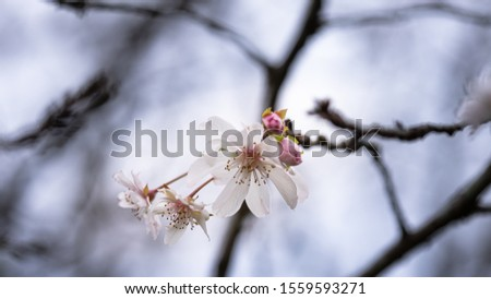 Fuyuzakura is blooming in the month of November. It has smaller petal than the one blooms in the spring. It is so elegant and beautiful to look. #1559593271