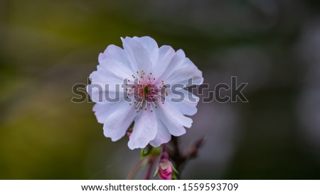 Fuyuzakura is blooming in the month of November. It has smaller petal than the one blooms in the spring. It is so elegant and beautiful to look. #1559593709