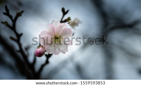 Fuyuzakura is blooming in the month of November. It has smaller petal than the one blooms in the spring. It is so elegant and beautiful to look. #1559593853