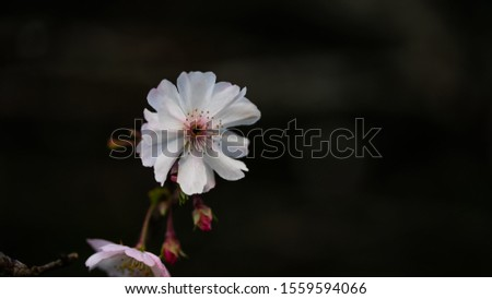 Fuyuzakura is blooming in the month of November. It has smaller petal than the one blooms in the spring. It is so elegant and beautiful to look. #1559594066