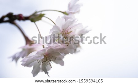 Fuyuzakura is blooming in the month of November. It has smaller petal than the one blooms in the spring. It is so elegant and beautiful to look. #1559594105