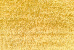 Fuzzy ears of wheat, hay field aerial shot directly above