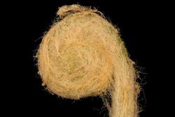 Fuzzy head of the Cinnamon Fern , Osmundastrum cinnamomeum, Flower and plant Macro material on black background
