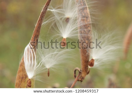 Fuzzy White Milkweed Seeds in Dead Grey Pods on Plants With Soft Green and Brown Background
