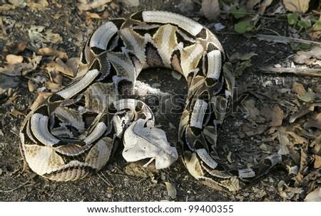 Gaboon Viper (Bitis gabonica), Africa