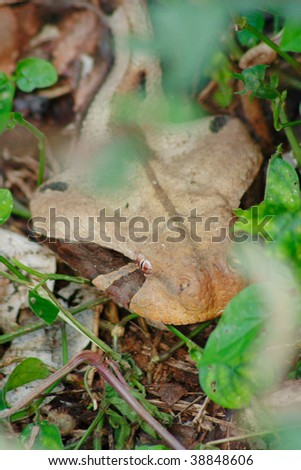 Gaboon Viper Snake Lying In Wait Stock Photo 38848606 :