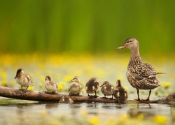 Gadwall duck, Anas strepera. Female with group of chicks standing in row on old trunk in yellow flowering water, against blurred yellow flowers and green reeds in background.Spring, Europe, Hungary.
