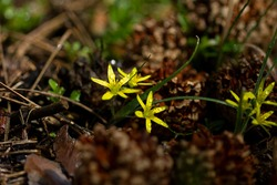 Gagea lutea. Yellow spring flowers star, early flowering. Forest, wild plants.