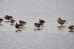 Gaggle of greylag geese (Anser anser) resting on water at nature reserve