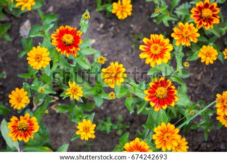 Shutterstock puzzlepix gaillardia goblinbi colored flower reddish brown center is surrounded by scarlet red petals with sunny yellow tips mightylinksfo