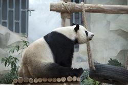 Gaint Panda