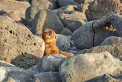Galápagos sea lion, Zalophus wollebaeki, smallest sea lion species. Cute puppy lying in the warm sunlight on the sandy beach of the Galapagos Islands, Ecuador, South America