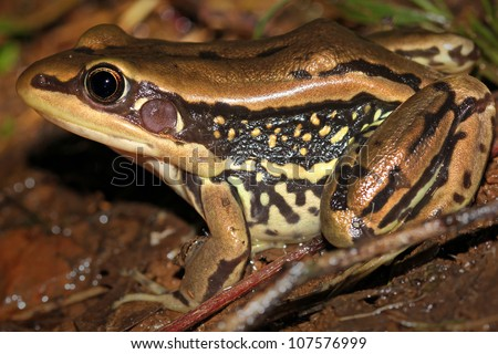 Galam White-lipped Frog (Hylarana galamensis) in Uganda, Africa. Found along the Nile River in Jinja, Uganda.