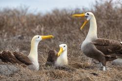 Galapagos Albatross aka Waved albatrosses mating dance courtship ritual on Espanola Island, Galapagos Islands, Ecuador. The Waved Albatross is an critically endangered species endemic to Galapagos.