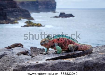 Galapagos Espanola Island Punta Suarez Marine Iguana\n