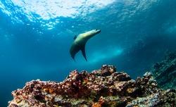 Galapagos fur seal (Arctocephalus galapagoensis) swimming in tropical underwaters. Fur seal in underwater world. Observation of wildlife ocean. Scuba diving adventure in Ecuador coast of Galapagos
