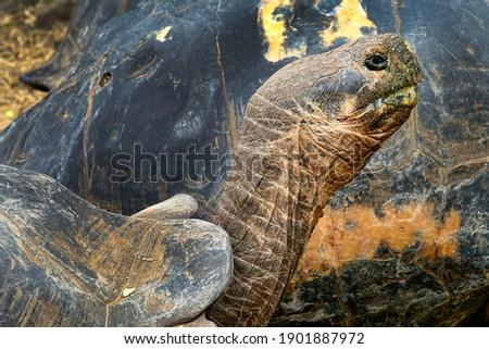 Galapagos Giant Tortoise  Chelonoidis n. at Galapagos National Park  Galapagos Islands  UNESCO World Heritage Site  Ecuador  America Foto stock ©