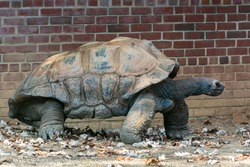 Galapagos giant tortoise (Chelonoidis niger), the largest living species of tortoise. With lifespans in the wild of over 100 years, they are one of the longest-lived vertebrates.