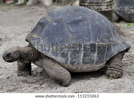 Galapagos Giant Tortoise ,Close Up