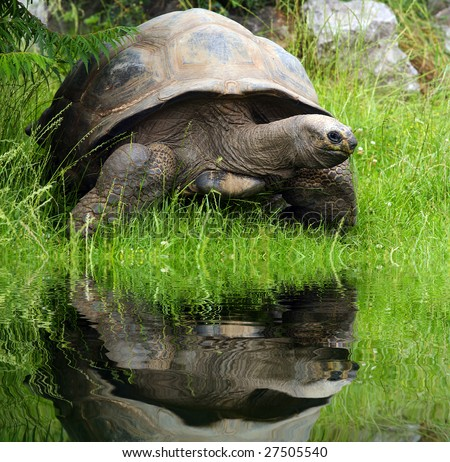 Galapagos (giant) tortoise (Geochelone nigra) in Zoo Prague - Czech Republic - Europe