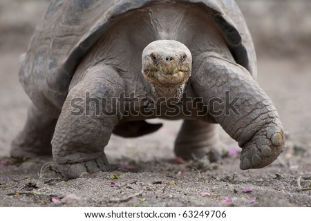 Galapagos giant tortoise is the largest living species of tortoise, reaching weights of over 400 kilograms and lengths of 1.8 meters. It is among the longest lived of all vertebrates.