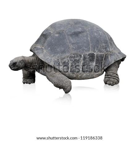 Galapagos Giant Tortoise,Isolated On White