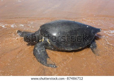 Galapagos green turtle returning to the ocean after nesting