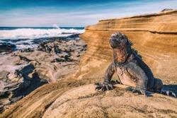 Galapagos Islands Marine Iguana - Iguanas warming in the sun on volcanic rocks on Puerto Egas (Egas port) Santiago island, Ecuador. Amazing wildlife animals on Galapagos Islands, Ecuador.
