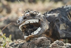 Galapagos land iguana, Conolophus subcristatus. Portrait with shallow depth of field of a dead and decomposed lizard body, looking like a dinosaur with bleached white teeth. Galapagos islands, Ecuador