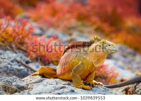 Galapagos Land Iguana, Galápagos Islands, Ecuador, South America
