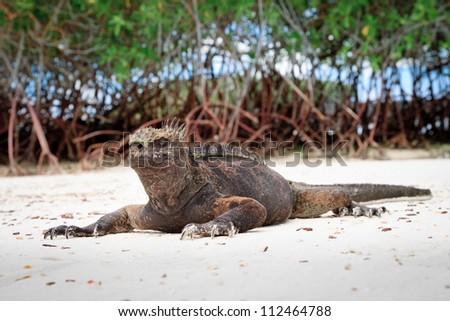 Galapagos marine  iguana gathering sun - stock photo
