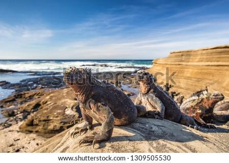 Galapagos Marine Iguana - Iguanas warming in the sun on volcanic rocks on Puerto Egas (Egas port) Santiago island, Ecuador. Amazing wildlife animals on Galapagos Islands, Ecuador.