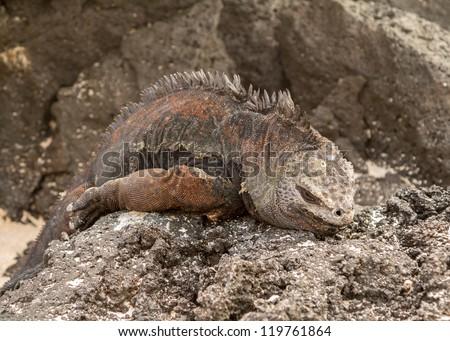 Galapagos marine iguana lizard on rock in Galapagos Islands Ecuador